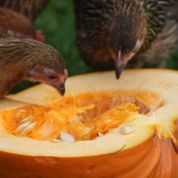 A guide as to how to recycle your pumpkin in your garden after Halloween. Done With You, Pumpkin, Posts, Fruit, Halloween, Garden, Blog, Recipes, Pumpkins