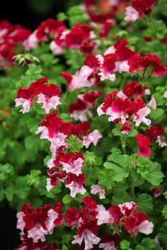 Geranium pelargonium 'Quantock Perfection'