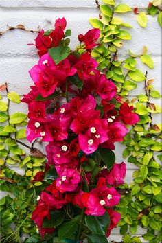 Bougainville, some day I will have my house full of them!