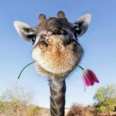 Today, you have been blessed by a giraffe - Animal photography Cute Little Animals, Cute Funny Animals, Cute Dogs, Giraffe Art, Cute Giraffe, Baby Giraffes, Giraffe Photos, Giraffe Meme, Tier Fotos