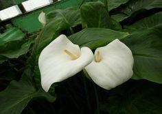 http://jungletropicale.com/2012/11/zantedeschia-aethiopica/    #jardinage #étang #fleurs    Cliquer l'image pour lire l'article.