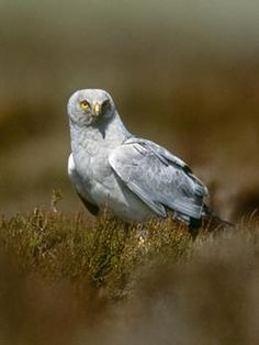 Hen harrier. Breeding pairs now almost extinct from Exmoor. But I was privileged to see one in April. Question is, was it there to breed?