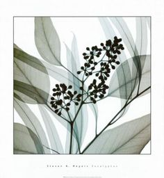 Eucalipto Lámina by Steven N. Meyers at Art.com