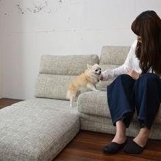 ローソファ専門店HAREM / チワワのりりこちゃん、本日のお相手はパルフィソファです。座面を組み替えて高さを変えられるパルフィソファなので、小型犬が乗り降りしやすい座面高15cmにもできますよ♩にしてもチワワさんのウルウルお目目…心わしづかみされちゃいます。