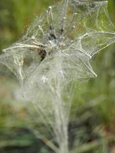 Pinner wrote: A dried queen anne's lace flower completely encased in a spider's web saw it when fishing last weekend. Spider Art, Spider Crafts, Spider Webs, House Spider, Queen Anne's Lace Flowers, Itsy Bitsy Spider, Beaded Spiders, Charlottes Web, Queen Annes Lace