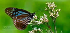 blue tiger butterfly by philippe6