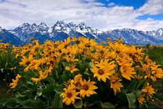 spring comes to life in front of the grand tetons