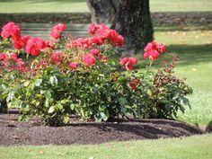 Roses -- Kuirau Park, Rotorua, New Zealand -- 21st December 2013