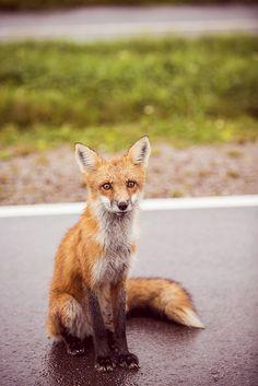 Fox, Prince Edward Island, Canada - #ExploreCanada by kk+, via Flickr