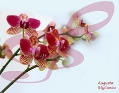 Orchid Music  Augusta Stylianou