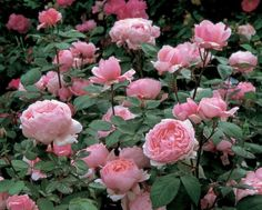 Brother Cadfael  Very large, globular, clear pink flowers. Particularly strong and rich Old Rose fragrance. Bushy, well-proportioned growth.