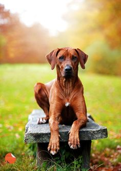 His Royal Highness. Rhodesian Ridgeback puppy dog