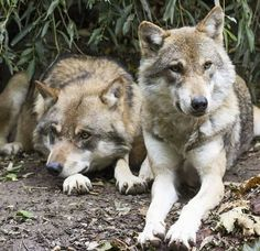 Wolves Canis Lupus Two Wolves European Wol Canis Lupus, Husky, Two Wolves, Photo Animaliere, Wolf Photos, Wolf Images, Howl At The Moon, She Wolf, Wild Wolf