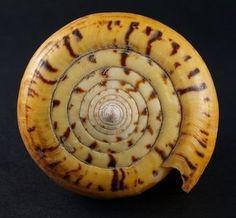 mollusk shells Fibonacci Sequence In Nature, Fibonacci Spiral, Organic Form, Flower Of Life, Patterns In Nature, Sacred Geometry, Fractals, Sea Shells, Sand Dollars