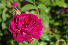 (171) The Friends of Vintage Roses