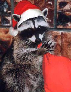 christmas raccoon by Inspired-daydream.deviantart.com on @DeviantArt