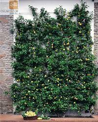 Espaliered Citrus Fruit Garden Vegetable Trees Edible