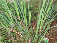 Lemongrass know Your Herbs and spices #DailyDishMagazine