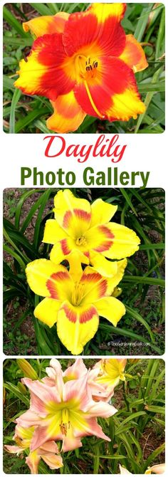 Do you love to grow daylilies? So do I. This daylily photo gallery gives names of many varieties of this gorgeous perennial thegardeningcook.com