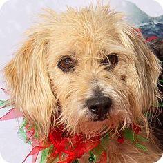 Gilbert, AZ - Yorkie, Yorkshire Terrier/Beagle Mix. Meet Eloise, a dog for adoption. http://www.adoptapet.com/pet/14944135-gilbert-arizona-yorkie-yorkshire-terrier-mix