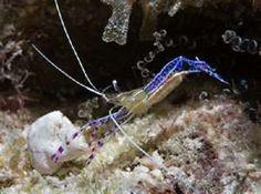 PEDERSON CLEANER SHRIMP-live saltwater fish - http://pets.goshoppins.com/fish-aquariums/pederson-cleaner-shrimp-live-saltwater-fish/