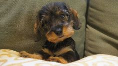 Wirehaired Dachshund Puppies | Willow Springs Miniature Wirehaired Dachshunds