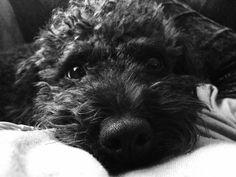 Poodle Bichon cross. Poochon. Bich poo.