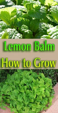 Lemon Balm - How to Grow. Lemon Balm a perennial herb that grows best in cool weather... #plant #herb #garden