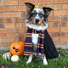 Harry Potter Dog Costume for Halloween Harry Potter Dog Costume, Harry Potter Kostüm, Harry Potter Pumpkin, Best Dog Costumes, Pet Costumes, Diy Costumes For Dogs, Diy Dog Halloween Costumes, Halloween Crafts, Costume Ideas
