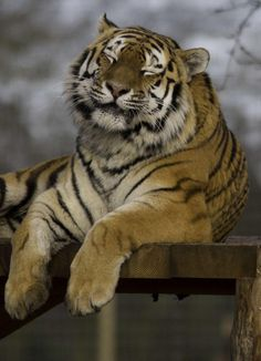 Today I learned that Tigers cannot purr. To show happiness tigers squint or close their eyes. This is because losing vision lowers defense so tigers only purposefully do so when they feel comfortable and safe. Beautiful Cats, Animals Beautiful, Animals And Pets, Cute Animals, Tiger Love, Wild Tiger, Tiger Art, Small Cat, Domestic Cat