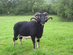 Badger Face Torwen Ram, by Debbie Kingsley Pet Sheep, Sheep Farm, Barnyard Animals, Cute Animals, Animals With Horns, Lamas, Sheep Breeds, Pig Farming, All About Animals