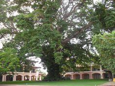 Majestic Corotu Tree at Buenaventura Beach Resort. Magical!