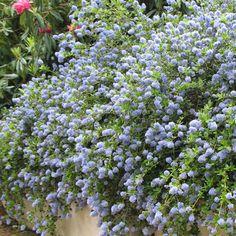 Arbuste persistant qui produit de très nombreuses fleurs bleu pâle au printemps.