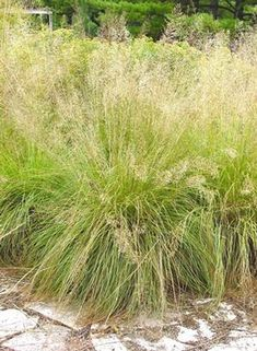 Sporobolus heterolepis (Prairie dropseed) - native MD plant - fine textured, deep green foliage with lovely, light and airy flowers to 2.5' in Sept-Oct - often has glowing pumpkin orange fall color - ht & spread: 2-3'