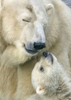 An animal mother's love - Polar Bear Mama & Her Baby Baby Zoo, Baby Polar Bears, Mama Baby, Cute Baby Animals, Animals And Pets, Wild Animals, Beautiful Creatures, Animals Beautiful, Love Bear