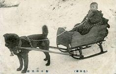 The Karafuto-Ken is a beloved Japanese sledding dog, currently facing… Japanese Dog Breeds, Japanese Dogs, Unusual Dog Breeds, Vintage Photographs, Vintage Photos, Dog Car, Puppy Mills, Antique Paint, Dogs