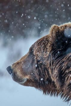 Brown bear in the snow. Which makes me ask, why isn't he/she hibernating?