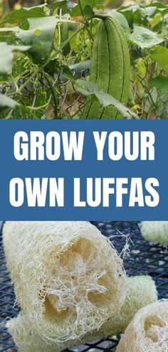 You can GROW luffa sponges for your shower or many other uses. Did you know you can grow luffas in your garden? Luffa sponge plants are actually a gourd! How to grow and use loofah sponges and where to buy them. Design Jardin, Garden Design, Savon Soap, Soaps, Organic Gardening Tips, Vegetable Gardening, Sustainable Gardening, Garden Pests, Herbs Garden