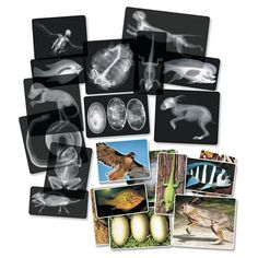 "Roylco R5910 Animal X-Ray Set, 8"" x 10"" Size Roylco http://www.amazon.com/dp/B000CBSN0Q/ref=cm_sw_r_pi_dp_H9f7wb00CPSG9"