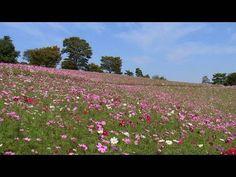 昭和記念公園のコスモスの丘  Cosmos In Shouwa National Park