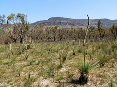 Grass Trees ( in the Victoria Valley, Australian Wildflowers, Australia Day, Wild Flowers, Grass, Vineyard, To Go, World, Nature, Victoria