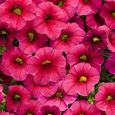 Superbells® Cherry Red - Calibrachoa hybrid