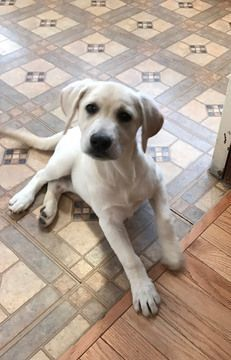 Labrador Retriever Puppy For Sale In Nashua Nh Adn 56966 On Puppyfinder Com Gender Female Age 1 Labrador Dog Labrador Retriever Labrador Retriever Puppies