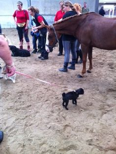 Mopsie bij de paarden 2012