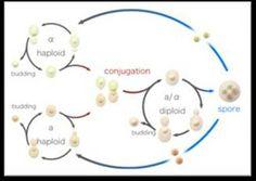 Obtención de Levadura a partir de la fermentación para la elaboración de algunos panificados (página 2) - Monografias.com