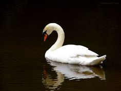 http://stuffpoint.com/beautiful-birds/image/54226-beautiful-birds-white-swan.jpg   This was my favorite bird when I was young because of the story The Ugly Duckling