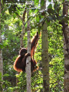 Watch orangutans at Tanjung Puting National Park, Borneo. Indonesia. NOT Malaysia.