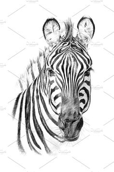 45 Best Zebra Drawing Images Zebra Art Zebra Drawing Zebra Painting