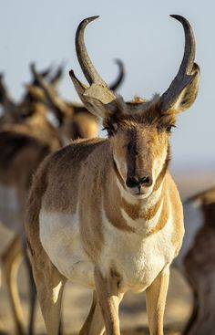 Peninsular pronghorn are the only animal with branched horns (not antlers).