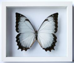 butterfly - I have several mounted like this at home.  <3